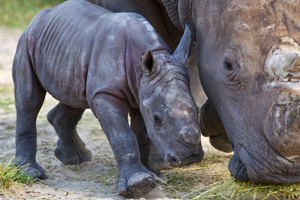 Rhino_07_300x200