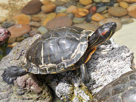about freshwater turtles ask an educator some turtles swim in the sea ...