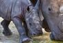 Rhino_01_92x64